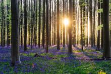 Sunrise Illuminating Bluebells
