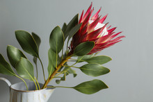 One Large Flower King Protea. ...