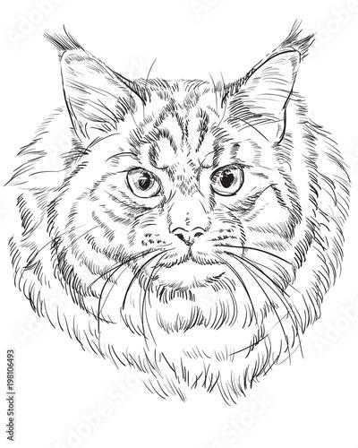 Photo sur Toile Croquis dessinés à la main des animaux Maine Coon Cat