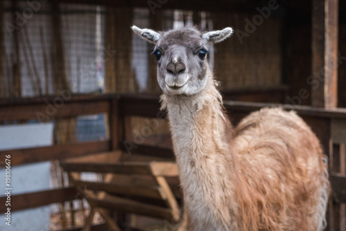 bright adult lama looks at the frame
