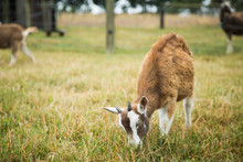 Brown Baby Goat Grazing Eating Grass In A Field
