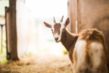 Cute Brown Baby Goat Turning Around Portrait