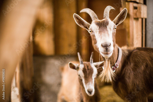 Cuadros en Lienzo Mother goat with baby brown goats in a barn