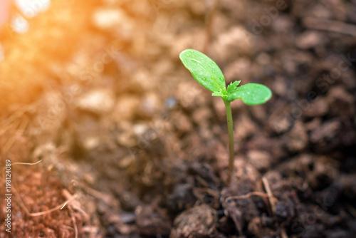 Plakat Sadzonka drzewa nagietka rośnie w plastikowym doniczce