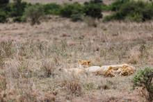 Three Female Lions Lay Down On...