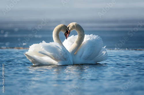 Fototapeta Romantic two swans, symbol of love