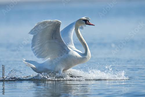 La pose en embrasure Cygne Mute swan flapping wings