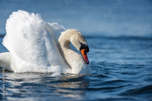 Foto op Canvas Zwaan Swan on blue lake water in sunny day