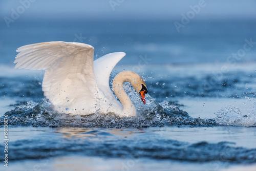 Fototapeta premium Mute swan flapping wings