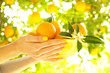 Leinwanddruck Bild - Close up of tender young woman hands holding bright yellow bowl full of oranges harvest pile in local produce farm plantation. Fruits & blossoms in sunshine on branch of orange tree garden. copy space