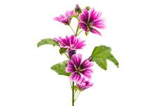 "Violet ""Common Mallow"" Flower ..."