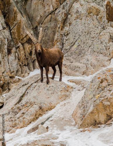 Plakat Koza górska