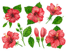 Collecion Red Hibiscus Flowers And Leaves Painted With Watercolors On White Background. Elements For Design.