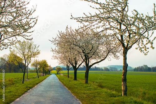Photo Weg mit blühenden Kirschbäumen und grünen Feldern