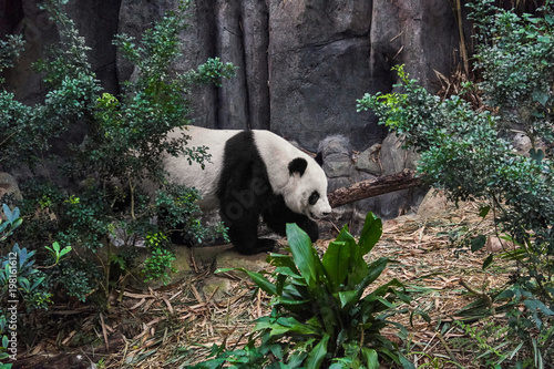 Poster Panda Giant white panda