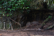 The Babirusas, Also Called Deer-pigs Are Sleeping