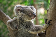 Mother And Baby Koala On A Tree In Natural Atmosphere.