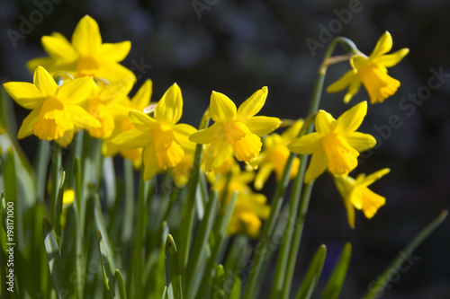 In de dag Narcis Clump of yellow dwarf narcissus flowers