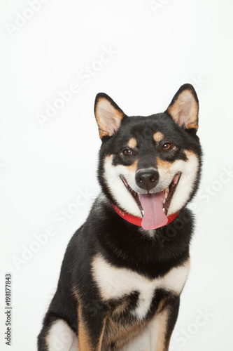 Photo  黒柴犬