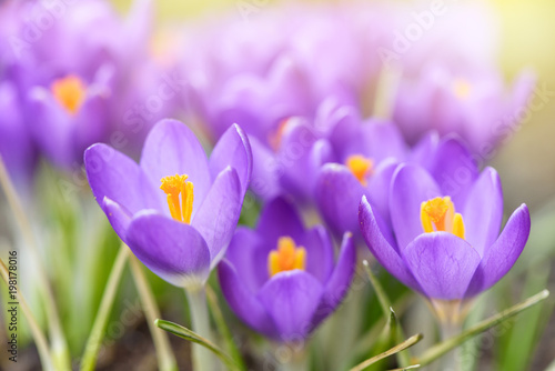 Foto op Canvas Krokussen Beautiful purple crocuses flowers close-up. Bright natural background with sunny
