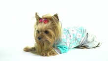Yorkshire Terrier With A Red B...