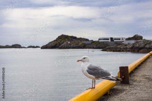 Seagull in the port of Svolvær