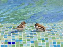 Zwei Vögel Baden Am Pool