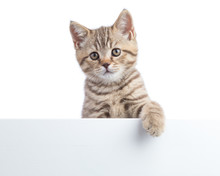 Kitten Cat Is Hanging Over Blank Posterboard, You Add The Message.