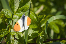 Orange Tip Butterfly On A Gras...
