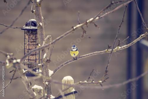 Fototapeta premium Blue tit on a branch near a birdfeeder in a garden