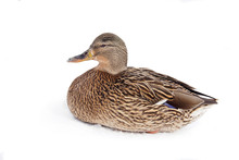 The Wild Duck Is Beautiful In The Snow. Bird Isolated On A White Background.