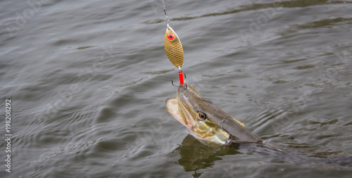 Freshwater pike with fishing lure in mouth and fishing equipment
