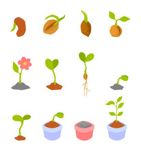 Set Of Illustrations With Phases Plant Growth.