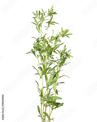 Fotografía  Bohnenkraut Pflanze auf weiss