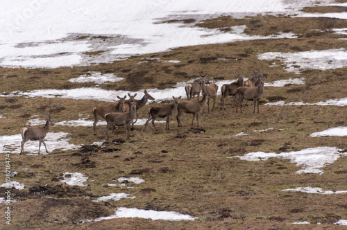 Papiers peints Roe A herd of roe deer on a mountain clearing. Western Tatras. Poland.