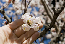 Apricot Tree, Full Of Pink Flower In Full Bloom, On Agricultural Farm Where Produces Fruit, The Hand Of The Farmer Controls The Pollination Of Bees, Petals, March, Spring, Sun, Lombardy, Italy