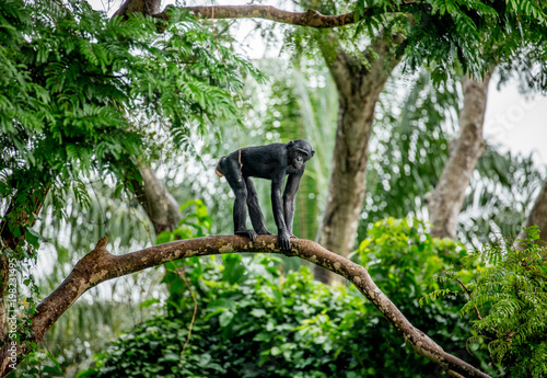 Bonobo on a tree in the background of a tropical forest. Democratic Republic of the Congo. Africa.