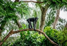 Bonobo On A Tree In The Backgr...