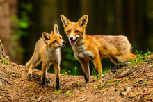 Red Fox In The Woods(Vulpes Vu...