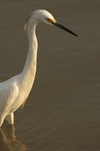 Snowy Egret Bird And Reflection Estuarine Wetland Unare Lagoon Venezuela