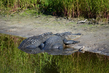Two Alligators Resting Side By...