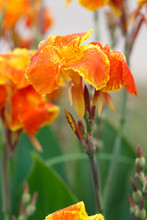 Canna Lily With Green Nature Background.