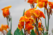Canna Lily With Green Nature B...