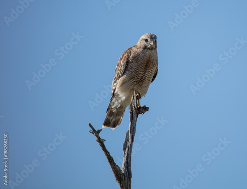 Photo  red shouldered hawk perched high in the wetlands has spotted you