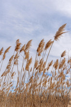 Tall Grass Blowing In Wind