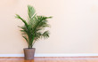 canvas print picture - Large indoor palm plant in a pale yellow room
