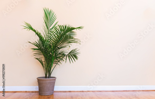 Valokuva  Large indoor palm plant in a pale yellow room