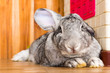 canvas print picture - giant rabbit in easter day isolate on background,front view from the top, technical cost-up.