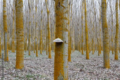Bosque de chopos y hongo yesquero. Populus canadensis. Fomes fomentarius. Chopera. Alameda. © LFRabanedo