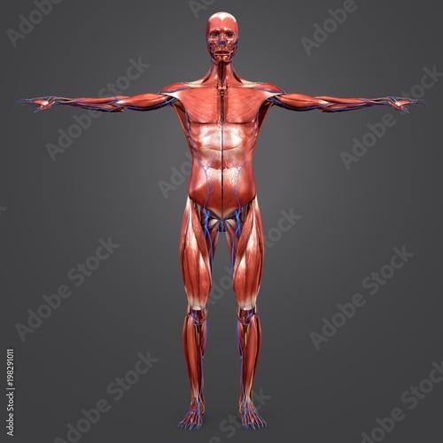 Human Muscular Anatomy with Veins Anterior view Fototapeta